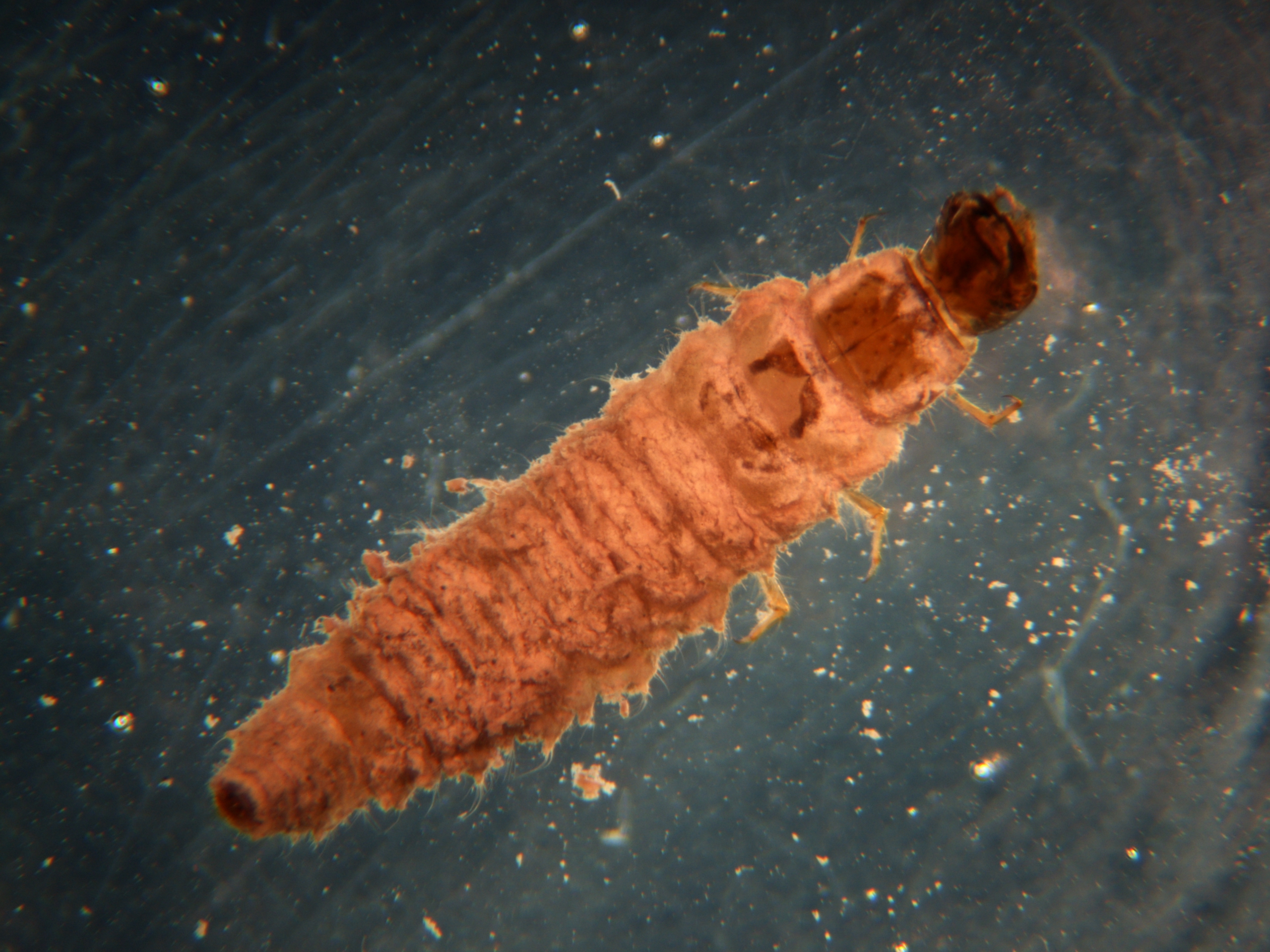 Larvae Name Insect Guide Identification