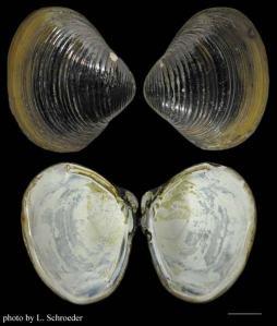 Corbicula_fluminea-invasive