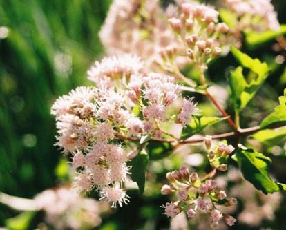 White mistflower ageratina havanensis blanco water atlas white mistflower ageratina havanensis mightylinksfo