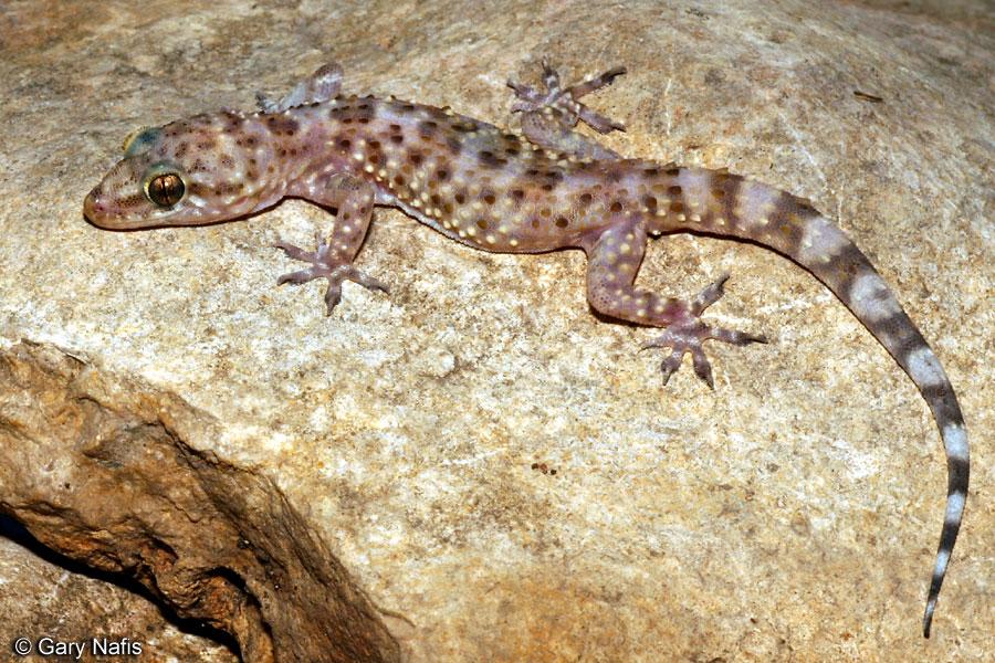 Hemidactylus Turcicus Mediterranean House Gecko Blanco Water Atlas