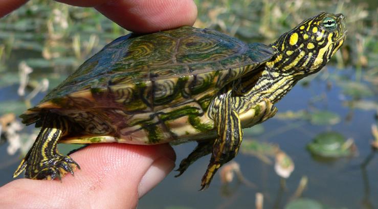 Reptile Identification Blanco Water Atlas